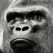 gareaugorille_jhd-gorille.jpg