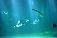 relationsinternationalesnausicaa_raie-manta-et-requins-l-merlier-2-.jpg
