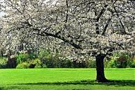 ecoperche_thumb_arbre_en_fleurs_au_printemps.jpg