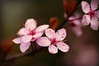 matestyes_cherry-blossom-4148119_640.jpg