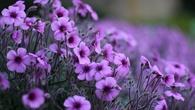 serenataflowersdiscountcode_geranium-purple-flowers_1920x1080.jpg