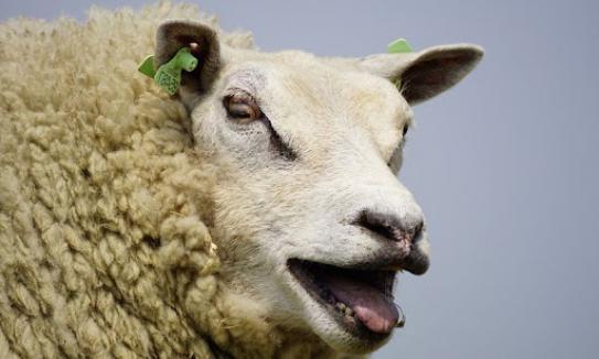 image moutons.jpg (48.2kB)