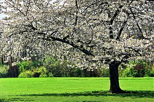 image thumb_Arbre_en_fleurs_au_printemps.jpg (29.2kB)